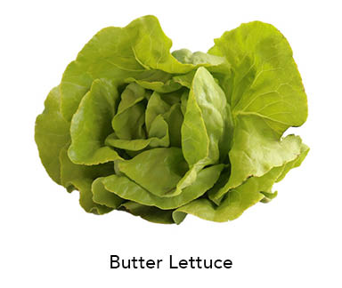Butter Leaf Lettuce